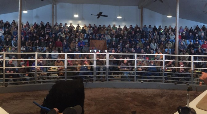 Jonathan Kraft of Kraft Auction Services conducts Cattle Auction in Illinois