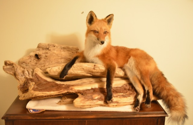 Red Fox Mount With Display